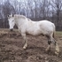 Nice Percheron Gelding