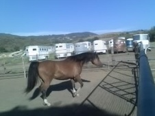 Bay Arabian Gelding (Price Reduced! )