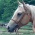 FOR SALE 3 yr old grade QH palomino mare
