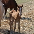 APHA 2015 GOLD CHAMPAGNE FILLY