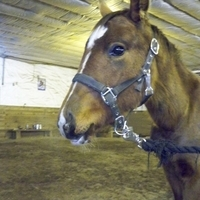 2012 Warmblood Cross Bay Stud Colt.