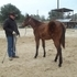 Yearling Quarter horse Filly, Bay, Nice!