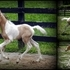 2014 SPOTTED BUCKSKIN COLT - BEAUTIFUL TRI-COLORED BOY