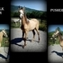 2013 BUTTERMILK BUCKSKIN PUSHER FILLY