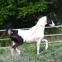 Pinto Warmblood Gelding
