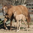 2004 Red Dun mare w/awesome show record; palomino filly X GRK CHAMPAGNE ON ICE (