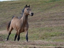AQHA FQHA Buckskin Stallion at Stud