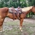 Gentle Quarter Horse Gelding For Sale