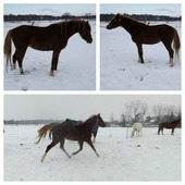 Flashy registered Arab gelding.