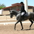 Your Search Ends with this Dressage/Sporthorse Gelding