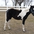 2014 APHA Tobiano Colt
