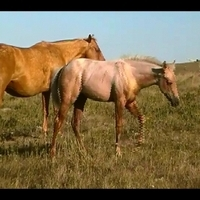 AQHA 2012 chocolate palomino by Doc's Sug g-daughter x Shining Sp...