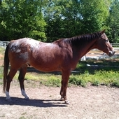 Beautiful Hunter Appaloosa Gelding