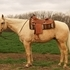 2004 All Around Palomino Show Gelding