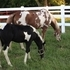 Registered APHA Paint Mare -Loud Colored Sorrel Overo