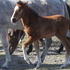 2013 bay P.R.E. Andalusian filly. Sired by our imported chestnut stallion Garboso LXXXVI and out of the stunning Dobladillo II daughter Bella RHF.