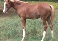 Sabino Pinto Purebred Arabian Filly