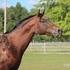 2011 Appaloosa Stallion - Double Registered