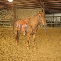 Athletic cowbred Mare