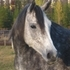 Dapple Grey Arabian Mare