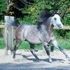 Royally bred SE stallion available at stud