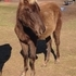 Chocolate Cream Rocky Mountain Colt - Yearling