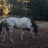 REGISTERED FOUNDATION APPALOOSA STALLION CHAMPION LINES 97% FPD $4500