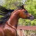 Proven Straight Egyptian Stallion at stud only