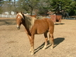 Flashy Smooth TWH Gelding Sorrel with Flax mane & tail