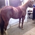 REDUCED-Pinto/Quarter Horse Filly- Well Bred!