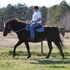 Beautiful sweet TWH mare **Price Reduced**