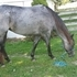 2010 AQHA BIG Brown Roan Mare