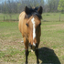 5 year old mare, 4h horse, great trail horse!