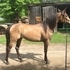 Registered Half Arab Filly