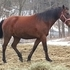 6 Year old Standardbred Broke to ride