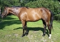 Beautiful Thoroughbred Mare