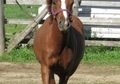 Cute  Registered Welsh pony filly: Section B