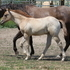 Dun /Roan filly -Hollywood Dun it