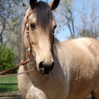 2000 Buckskin AQHA Gelding For Sale TRAIL Camping Horse