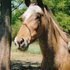 Nice appy mare, used in 4-h