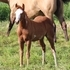 Quality Weanlings- Paint Horses for sale