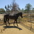reg. thoroughbred  SPORT  HORSES  30 for sale