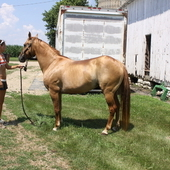 Dun Producing Broodmare Bred To Our Buckskin Driftwood Stallion