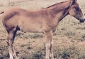 2015 Weanling Inwhizable colt