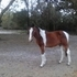 2011 Pinto SportHorse Fillies for sale