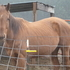 5 yr old JC reg. Thoroughbred mare