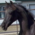 Gorgeous Yrlg Smoky Black West. Pl/Cowboy Dressage Prospect!