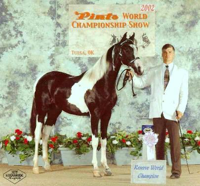 American Saddlebred Diamond Country grand Sired Pinto World Champion and Futurity Champion Producer offered  for breeding purposes only