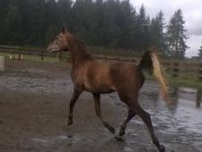 Gorgeous purebred arabian gelding for sale