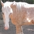 Palomino Sabino Tennessee Walking Horse For Sale